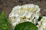 biały kwiat hortensji